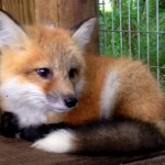 fox_smaller