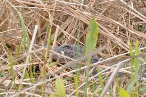 gator in grass 2
