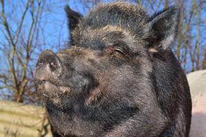 boar-284685_1280