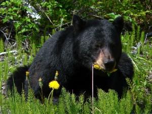 black-bear-80637_1280
