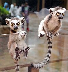 Lemurs-282x300