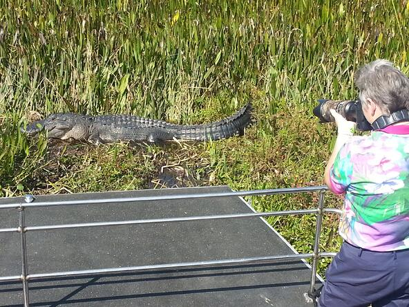 Alligator on an airboat ride