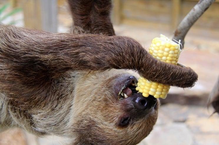 Ana the sloth