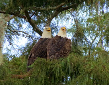 Bald eagles can be seen on Everglades airboat tour