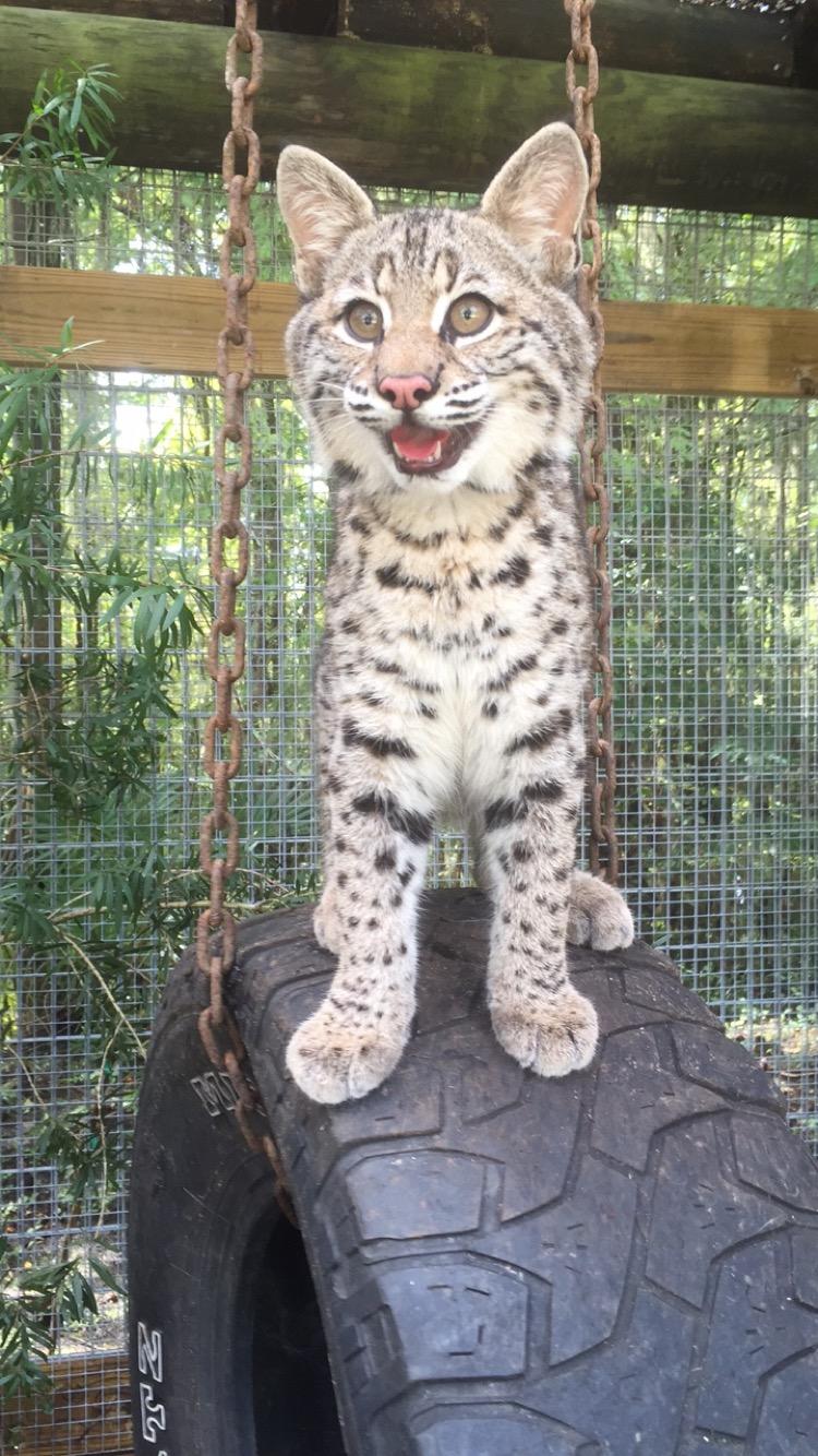 bobcat for a pet