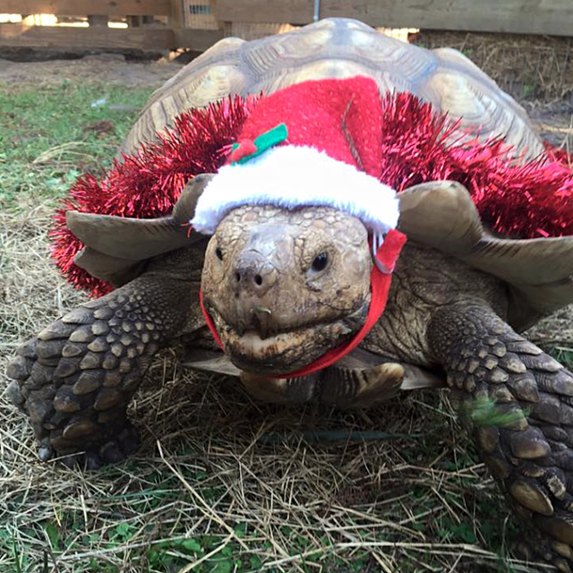 Christmas_Sulcata_Tortoise.png