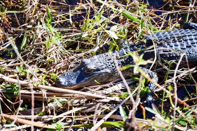 Alligator in the Florida Everglades