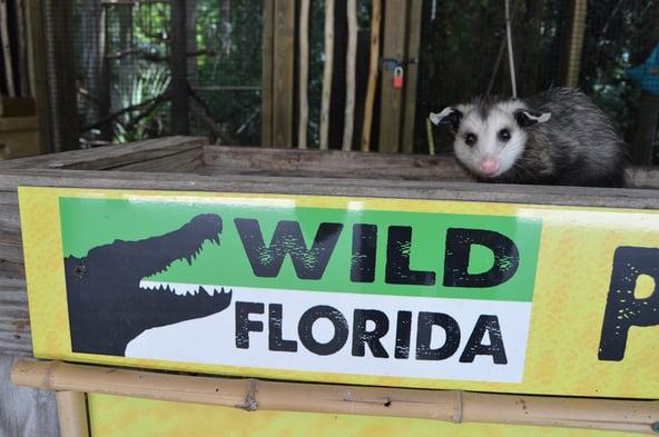 Opossum at Wild Florida