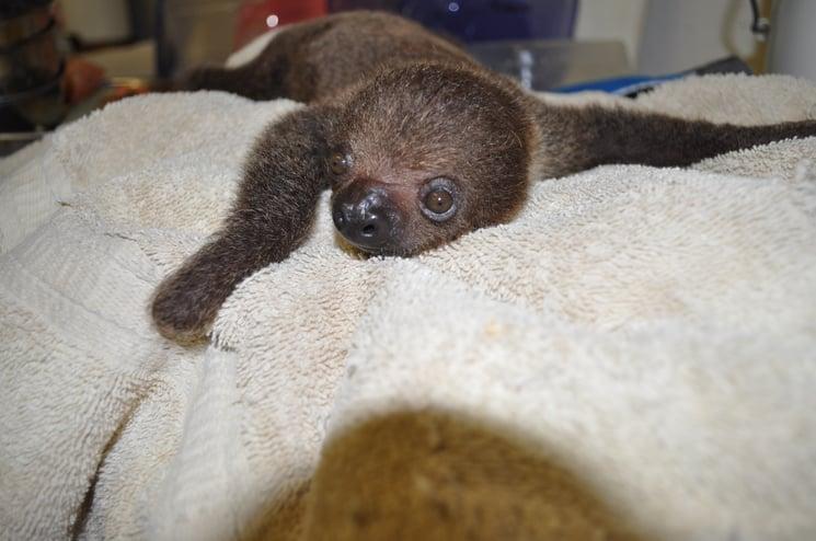 baby_sloth