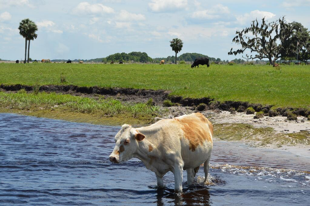 Cattle in swamp