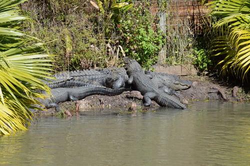 Mama gator with baby gators