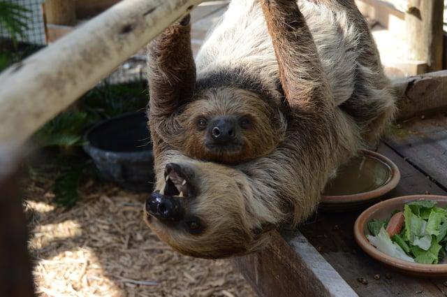 Wild Florida sloths