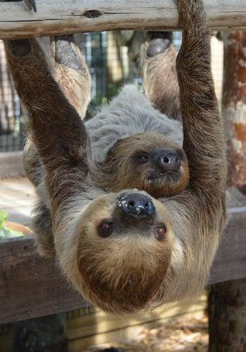 Sloths at Wild Florida