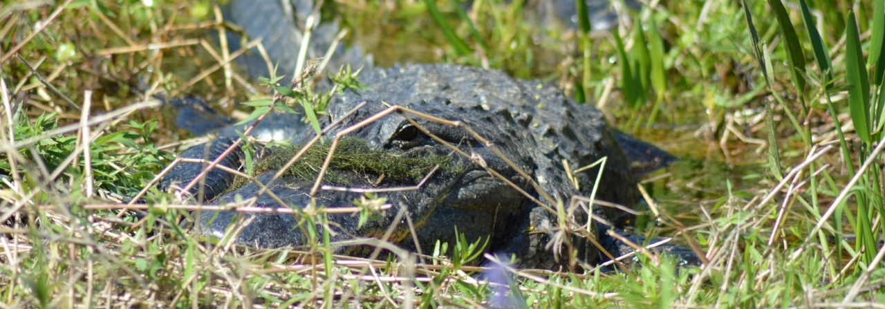 see alligators on an airboat ride in Florida