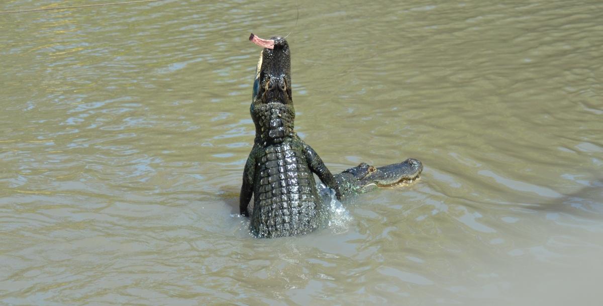 gator feeding show at wild florida