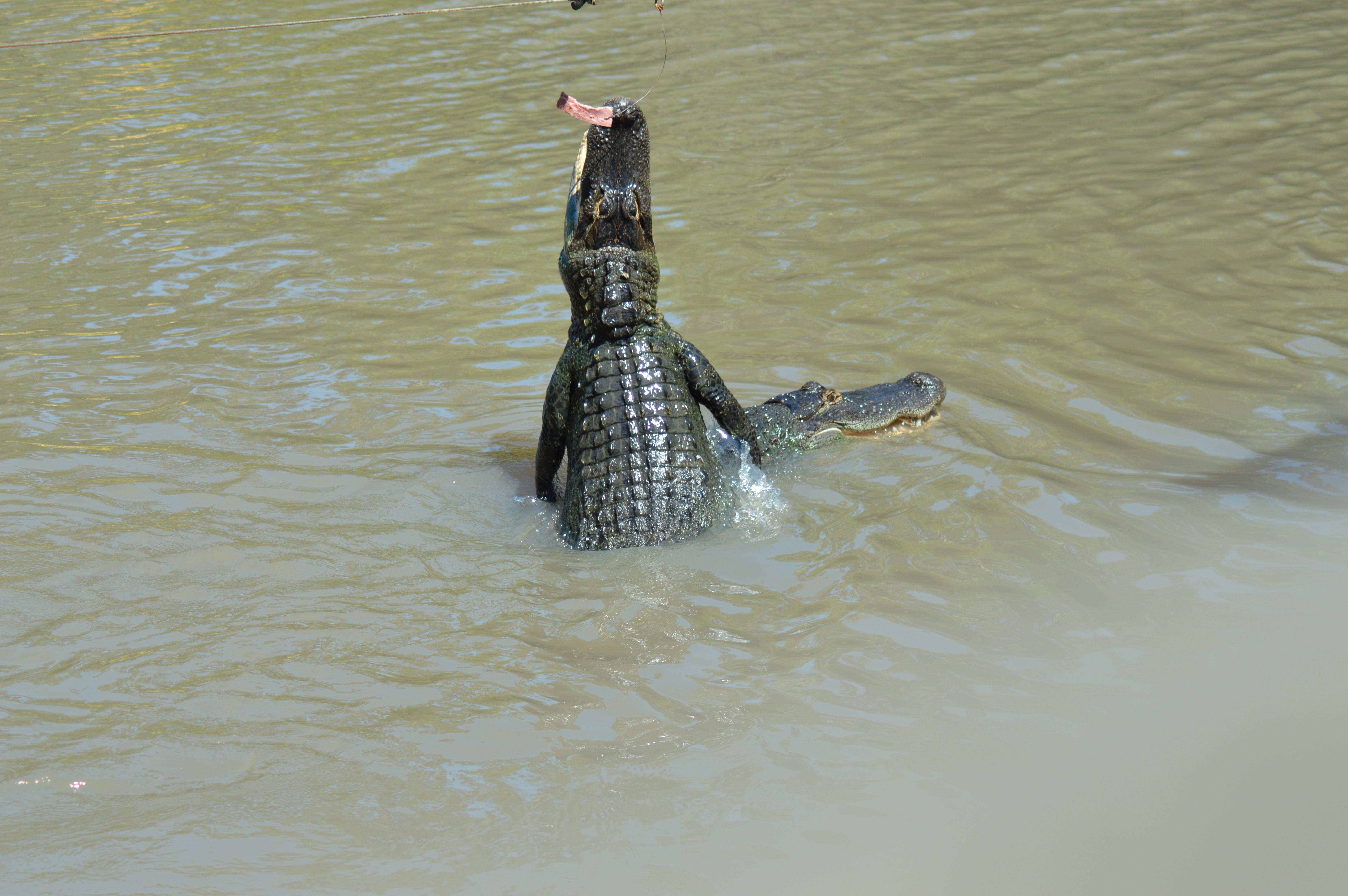 American alligator jumping