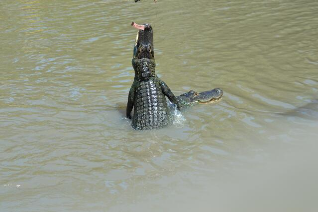 American alligator jumping