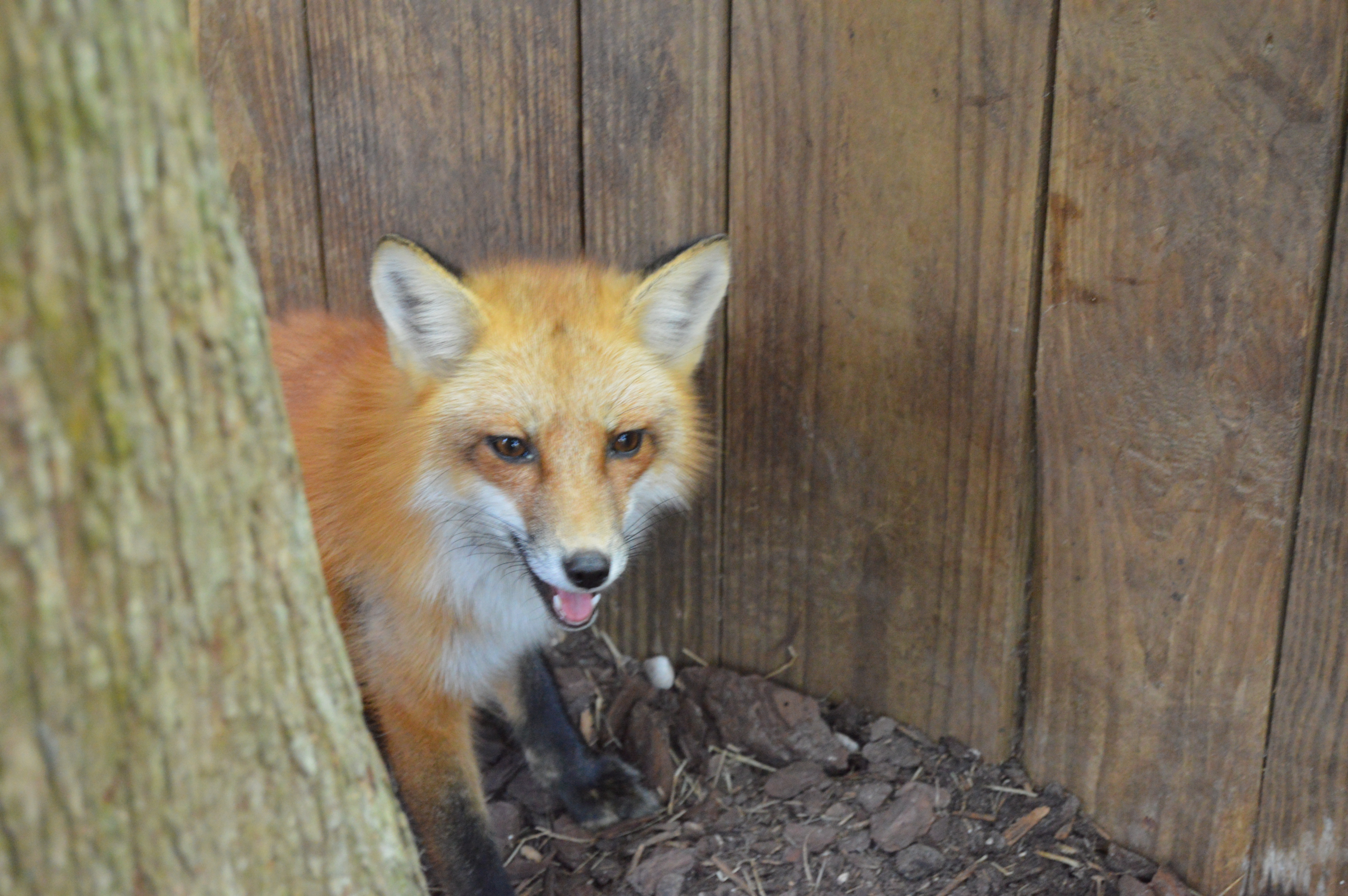Foxes in Florida
