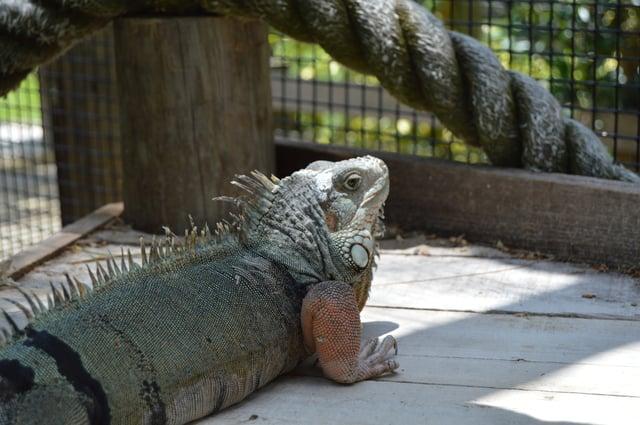 Iguana at Wild Florida