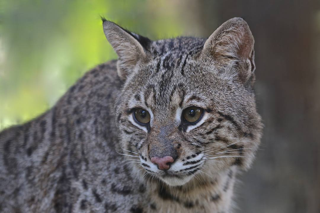 Duke bobcat at Wild Florida
