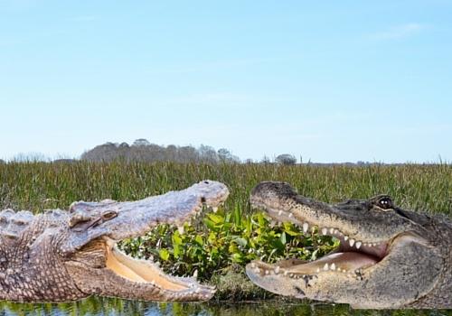 Alligator and Crocodile