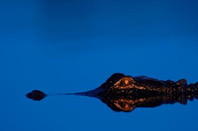 gator eyes at night
