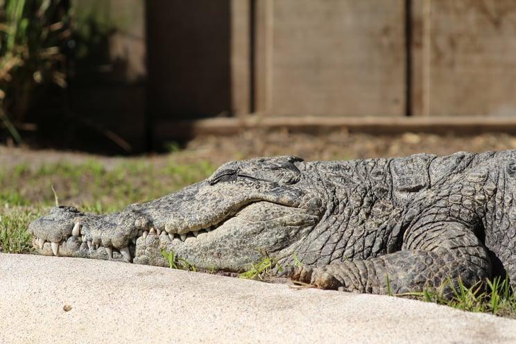 crocodiles in Florida