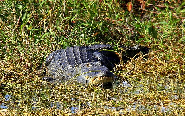 american alligators can be seen on your Everglades airboat tour