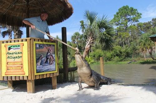 gator feeding