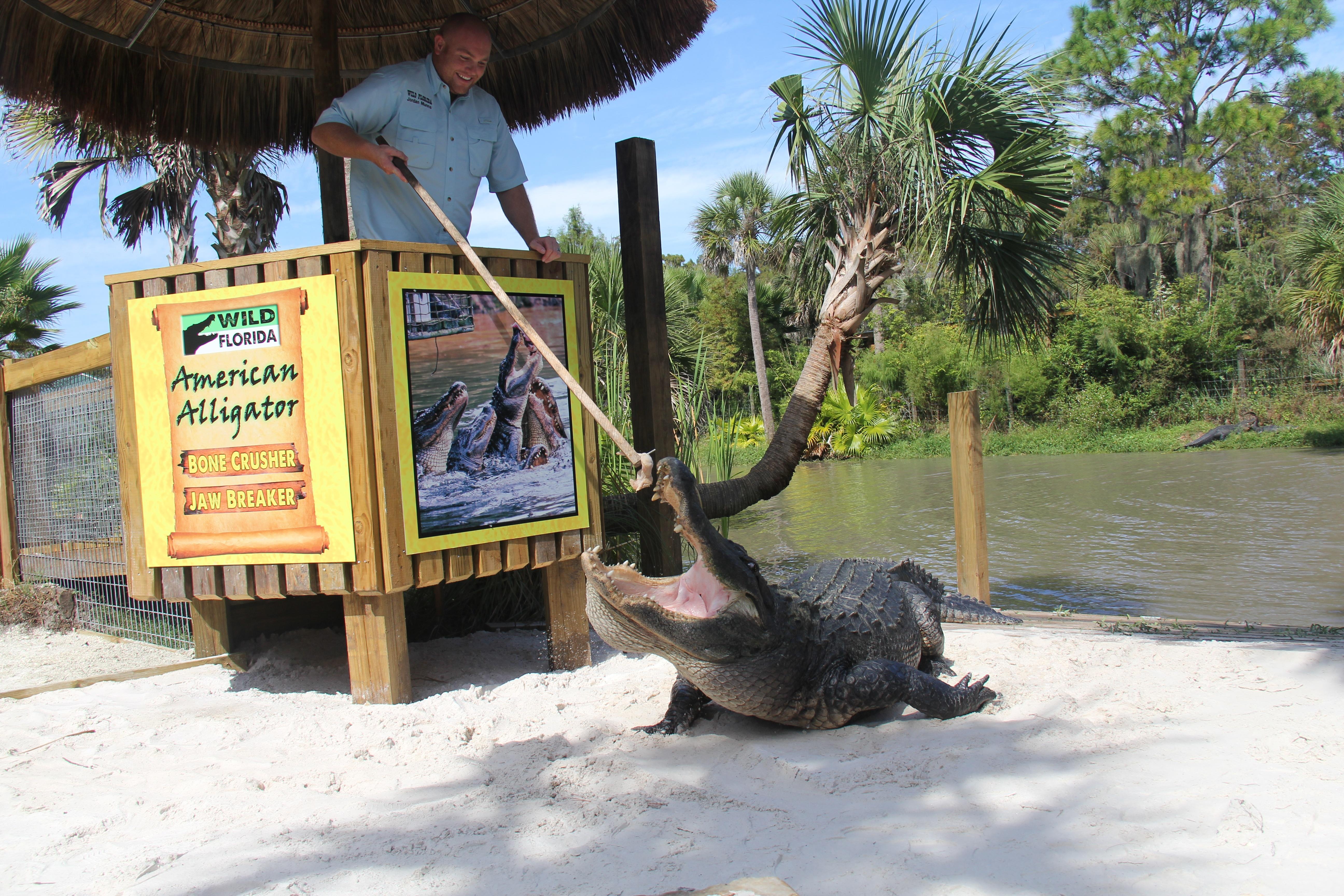 Wild Florida alligator