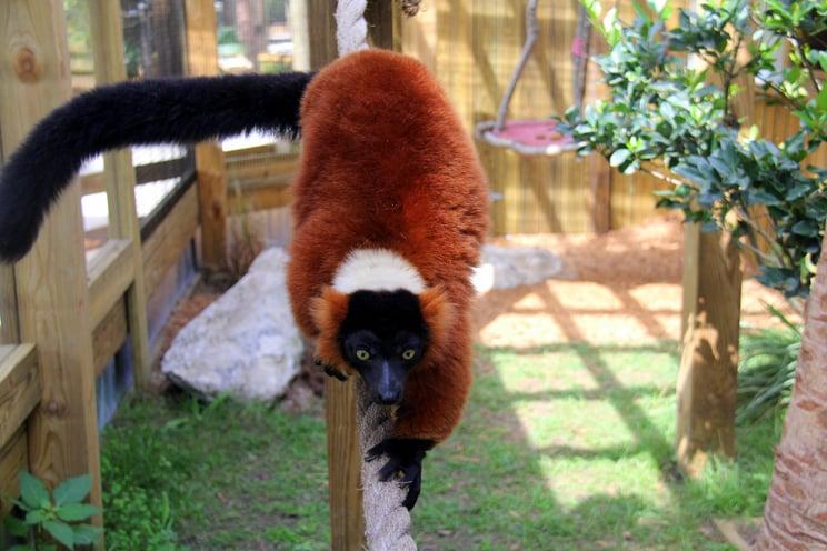 Leo the lemur