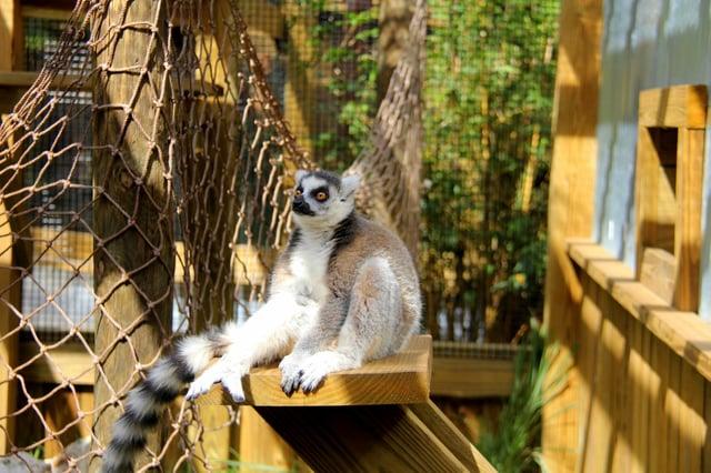 Lola ring-tailed lemur at Wild Florida