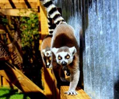 Ring-tailed lemurs at Wild Florida