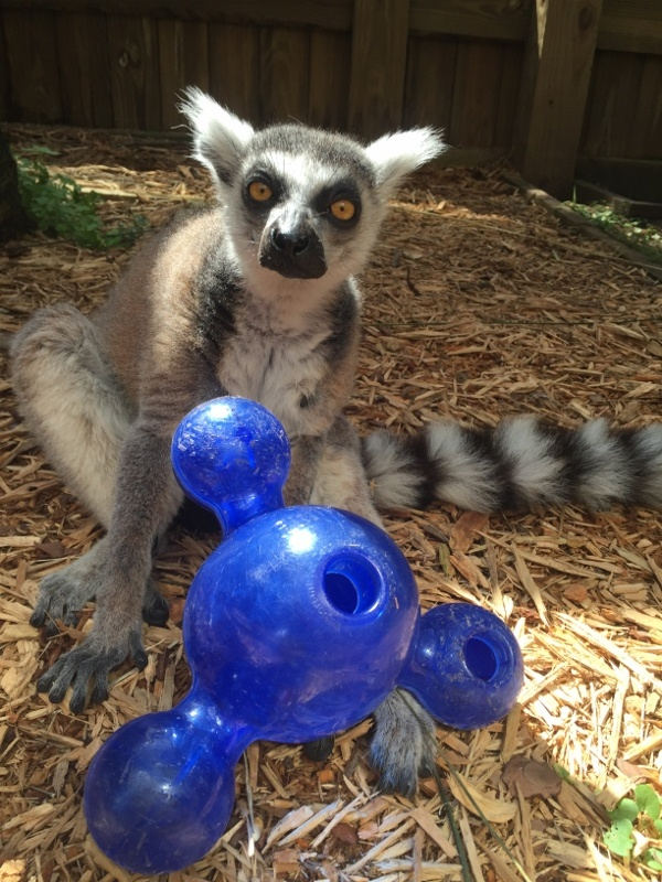 Lemur playing with enrichment toy