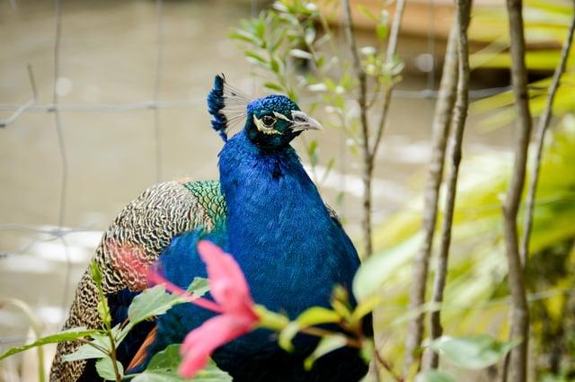 Peacock walks around Wild Florida wildlife park