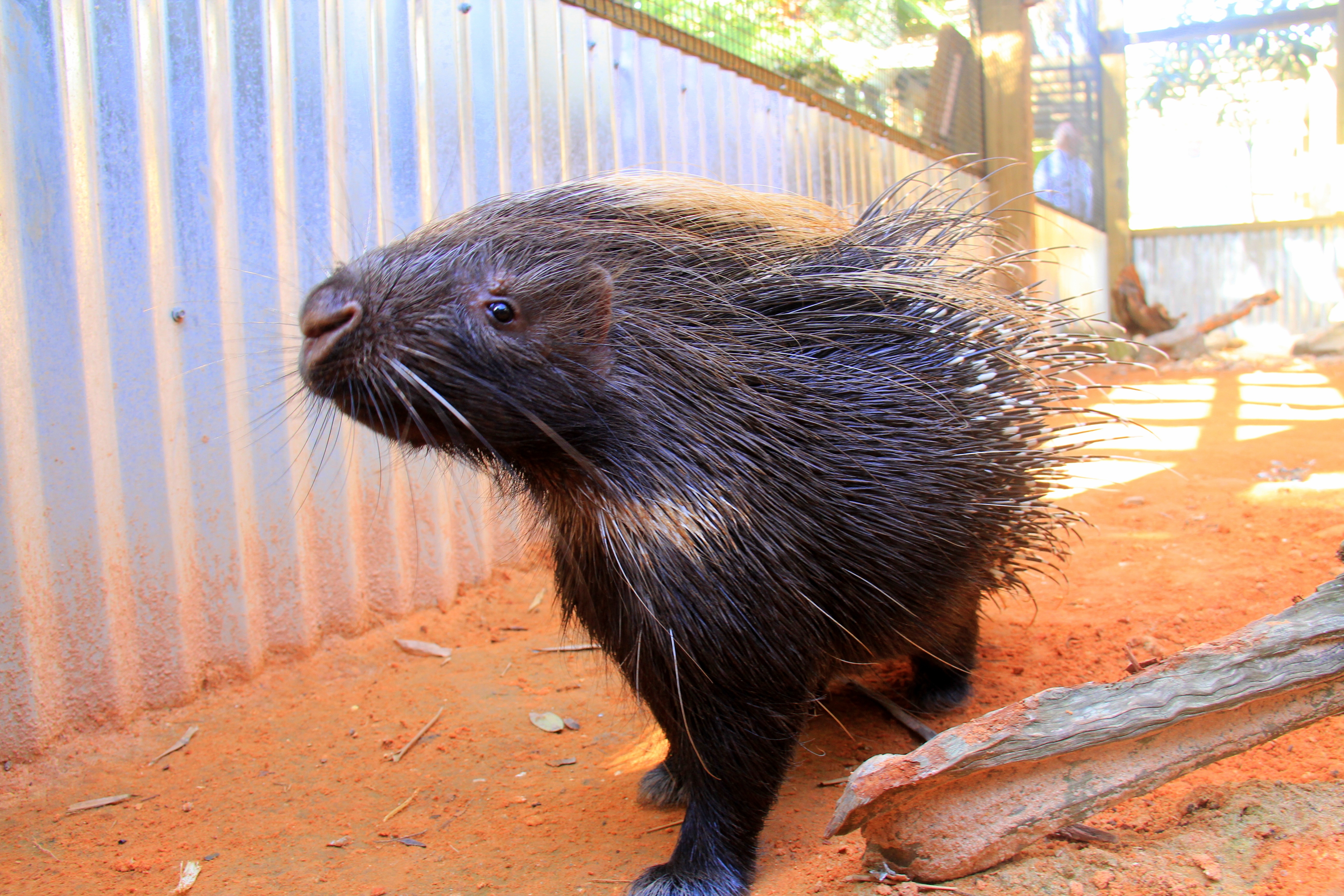 Stella the porcupine at Wild Florida