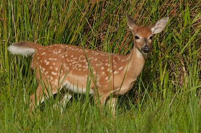 deer can be seen on your central florida airboat ride