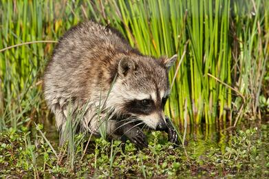 Raccoons can be seen on your Orlando airboat tour