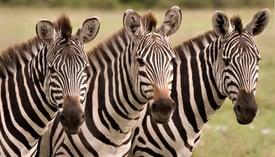 Zebra_1_800x458