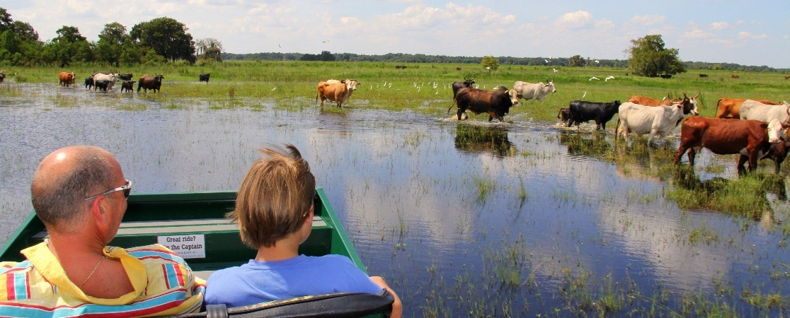 airboat ride with cows.jpg