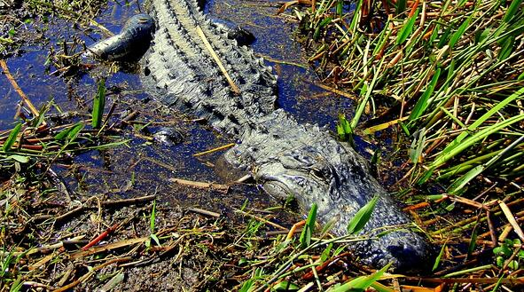 alligators seen from an airboat ride in Florida
