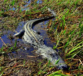 Alligator at Wild Florida