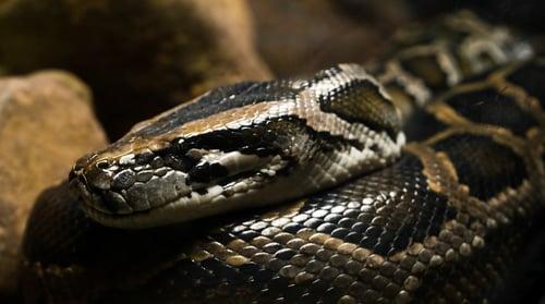 burmese python at Wild Florida