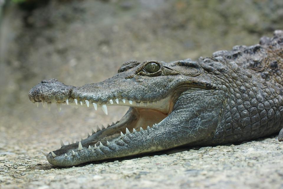 crocodile.jpg?t=1511387809419&width=640&