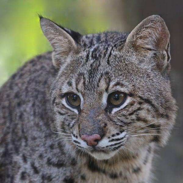 Bobcat Duke at Wild Florida