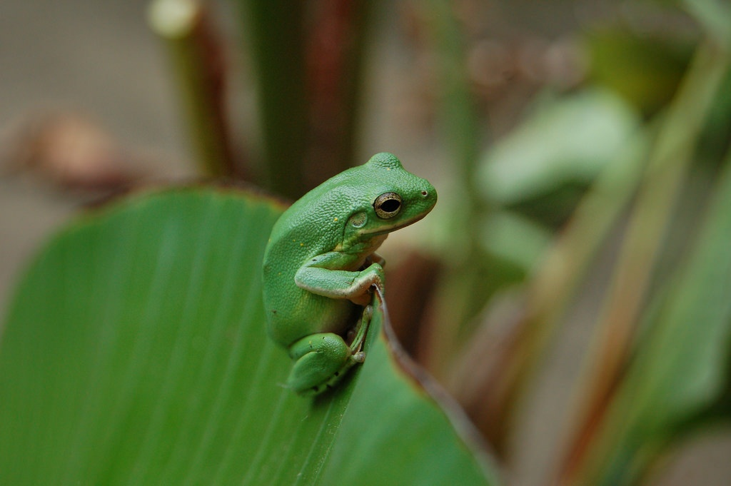 green_treefrog.jpg