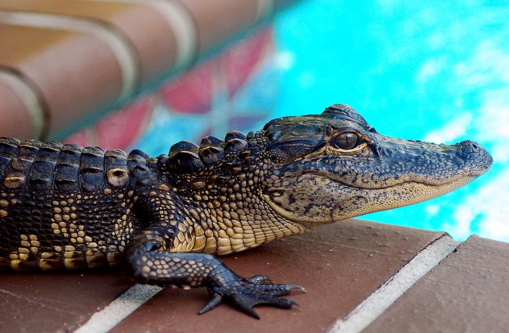 Gators in Florida