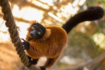 lemurs at Wild Florida