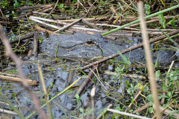 gator-spotting at Wild Florida