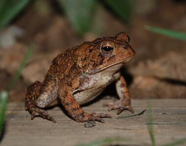 soutern_toad.jpg